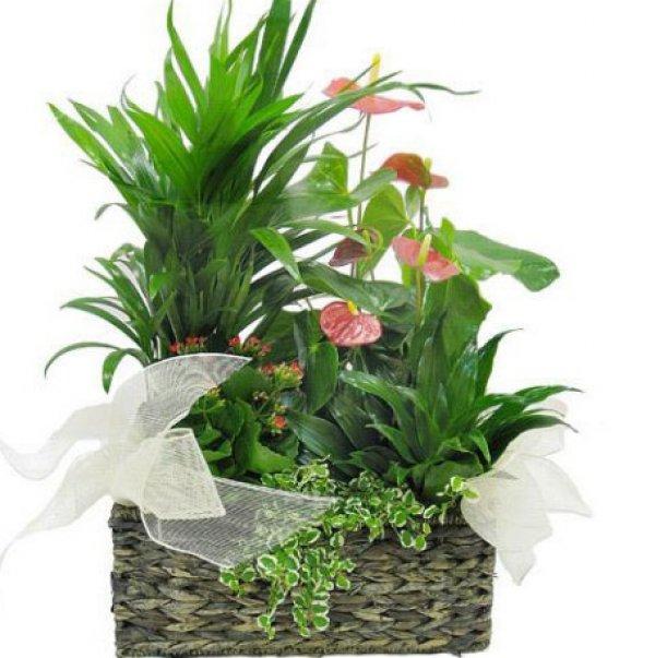Cesta de plantas Hayley