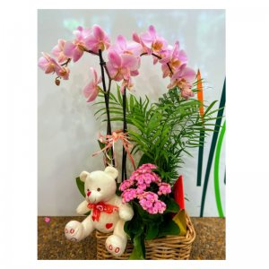 Cesta Planta de orquidea orquideas Sirio
