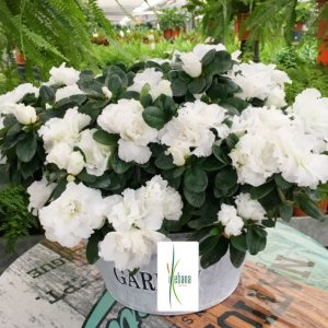 Planta azalea blanca Marte