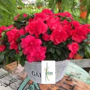 Planta azalea roja