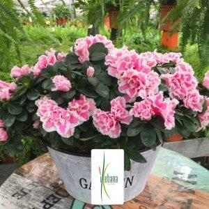 Planta azalea rosa Vulcano