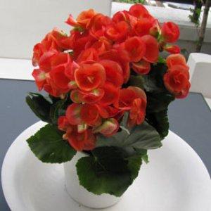 Planta Begonia Amapola