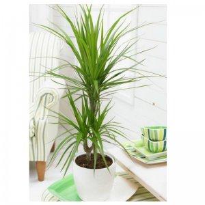 Planta Dracena Marginata Fresco