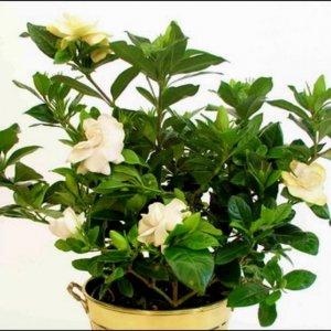 Planta Gardenia
