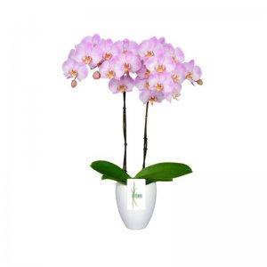 Planta Orquídea Kali