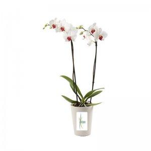 Planta Orquídea Rama