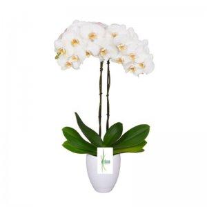 Planta orquidea Saraswati