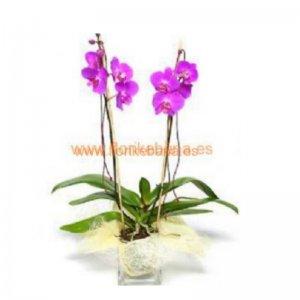 Planta Orquídea Shivá