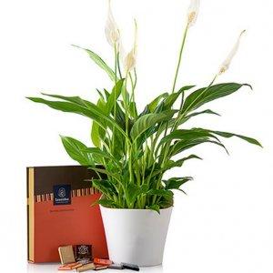 Planta Spathiphyllum con bombones Sade