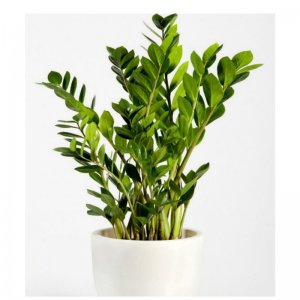 Planta Zamioculca Bía