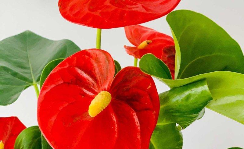 Como cuidar una planta de Anthurium